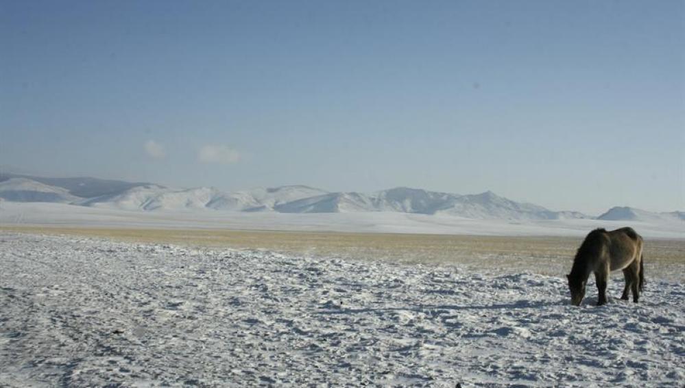 Uno de los animales que ha sobrevivido al conocido como 'dzud', un helador invierno