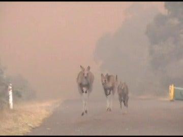 Frame 7.616 de: Un gran incendio amenaza numerosas casas y animales en Queanbeyan