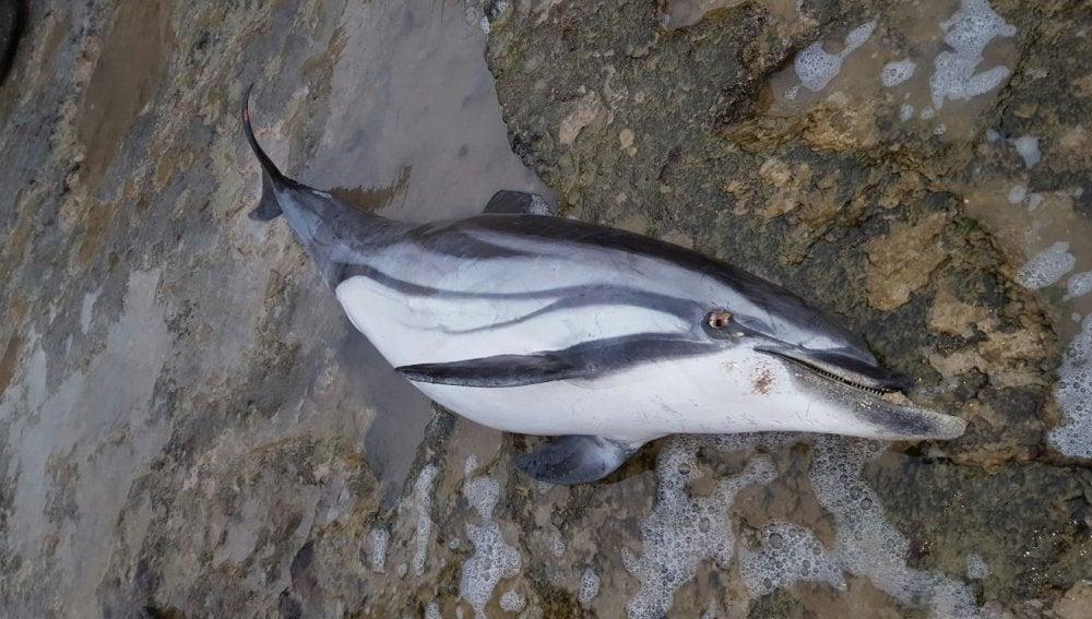 Delfín aparecido muerto en Torrevieja