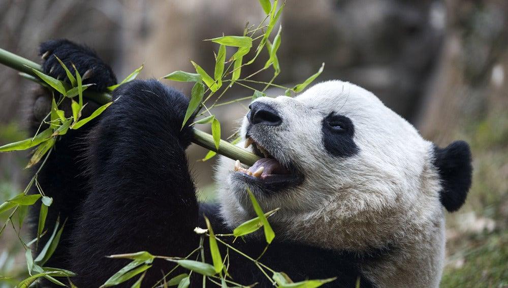 La panda gigante 'Bao Bao'