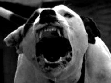 Imagen de archivo de un pitbull