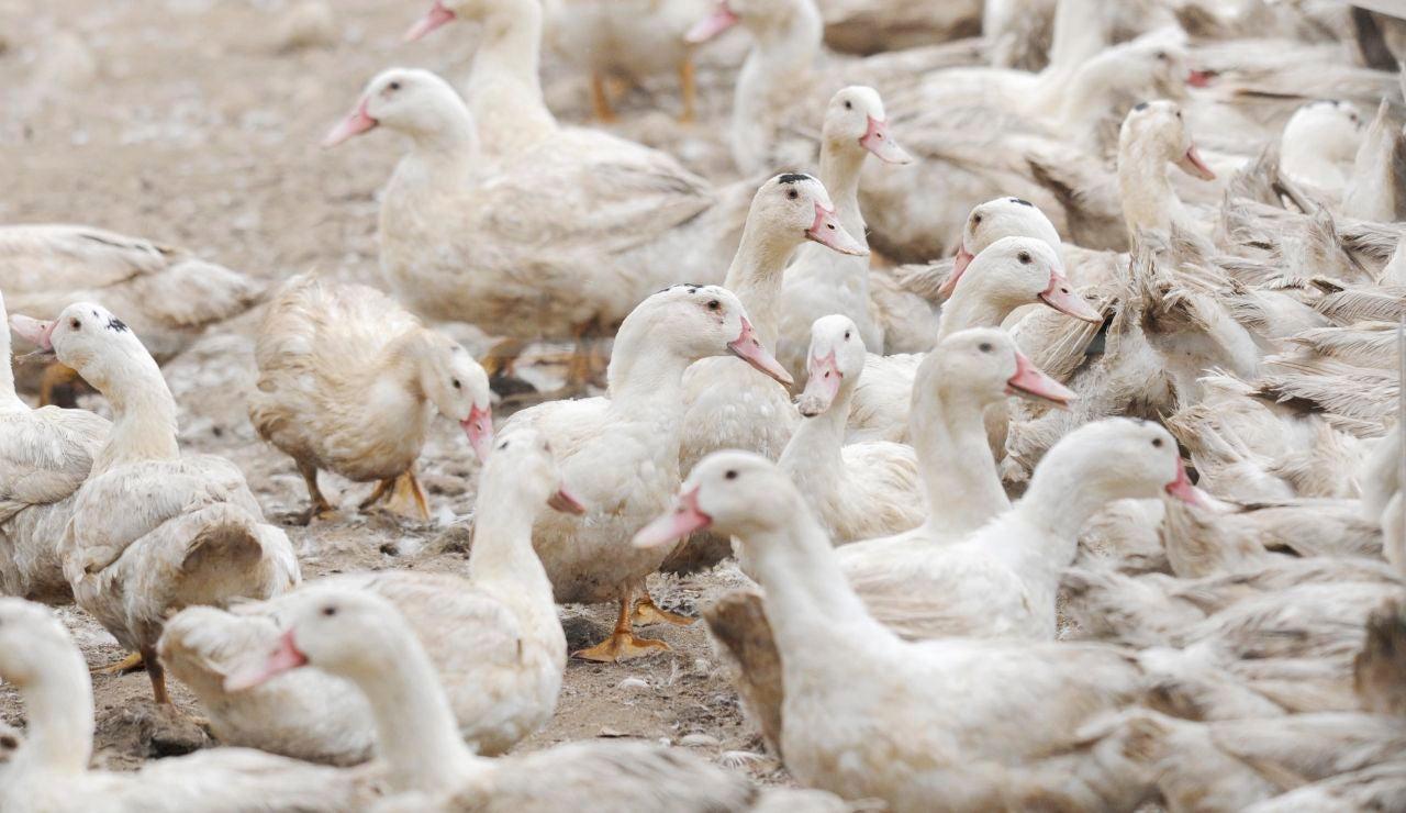 Gripe aviar