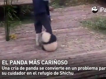 Frame 10.764005 de: Un bebé panda demasiado cariñoso pasa el día agarrado a la pierna de su cuidador