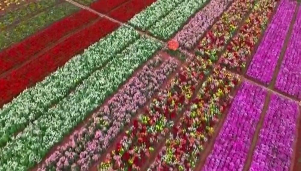 Frame 1.368931 de: Casi un millón de flores brotan en China con el inicio de la primavera