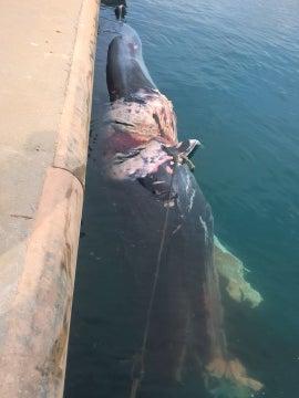 Hallado un cachalote muerto en el puerto de Sagunto (Valencia)