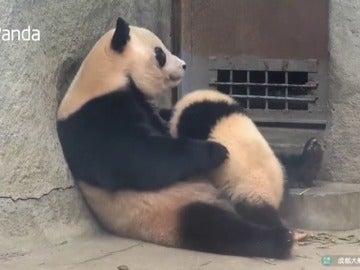 Frame 42.522637 de: Una panda gigante rechaza varias veces a su cachorro cuando intenta amamantarse