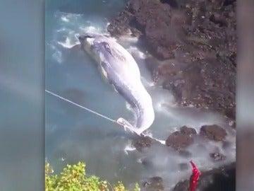 Frame 3.438135 de: Aparece varada una ballena de 14 metros en La Palma