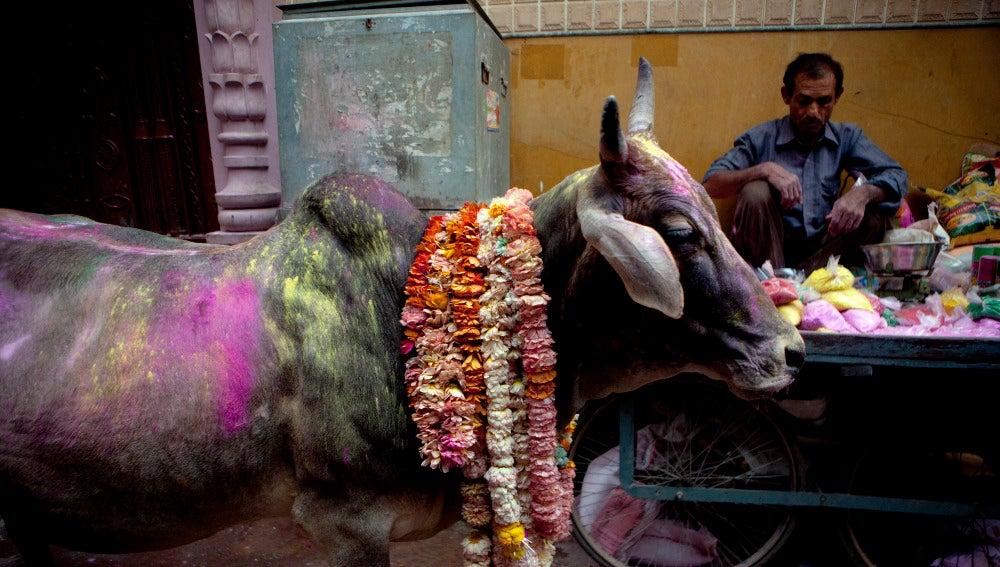 Las vacas son sagradas en la India