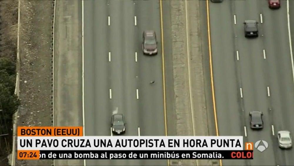 ANTENA 3 TV | Un pavo cruza una de las autopistas más concurridas de ...