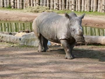 Uno de los rinocerontes a los que le han cortado los cuernos