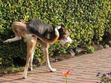 Perro orinando en la vía pública