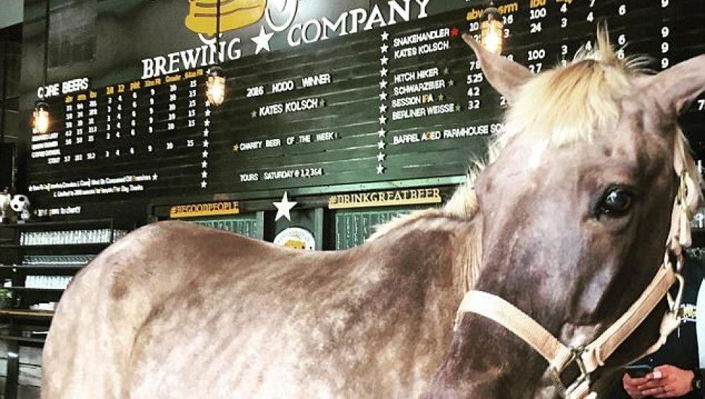 Un caballo incapaz de sudar bebe cerveza para abrir sus poros