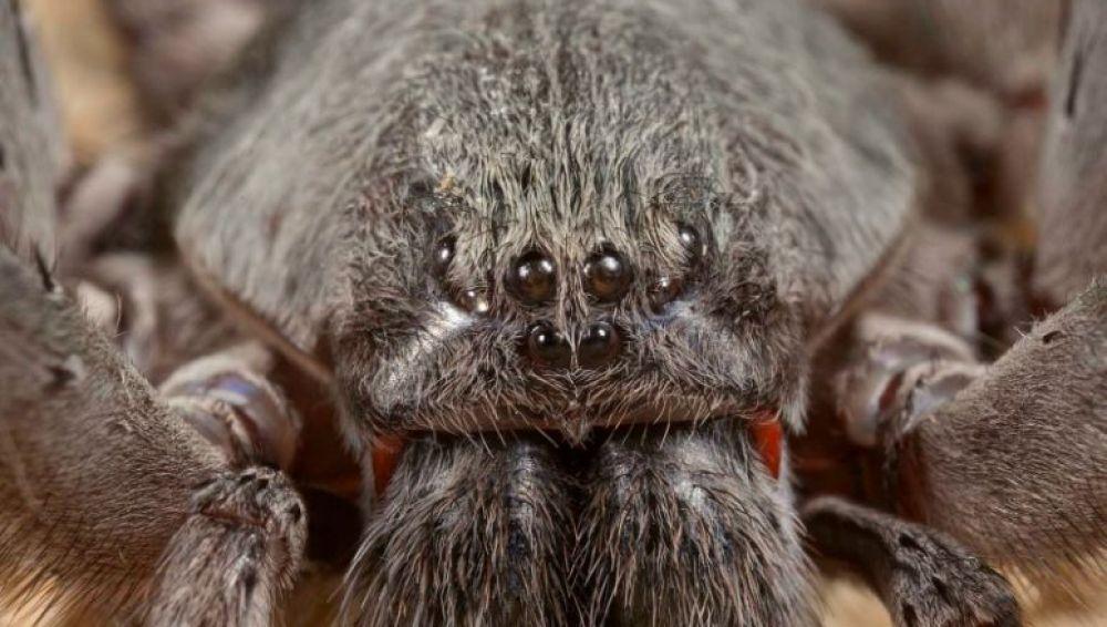 Califorctenus cacachilensis, la nueva araña descubierta en México