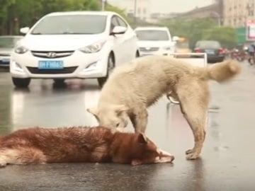 El perro tratando de despertar a su amigo