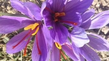 La bella flor del azafrán