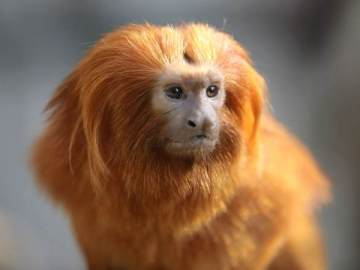 Tamarino león dorado - Imagen de archivo