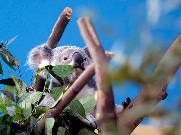 Un koala en un eucalipto