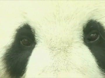 Frame 17.102786 de: Sospechan que una osa gigante panda de 11 años espera una cría