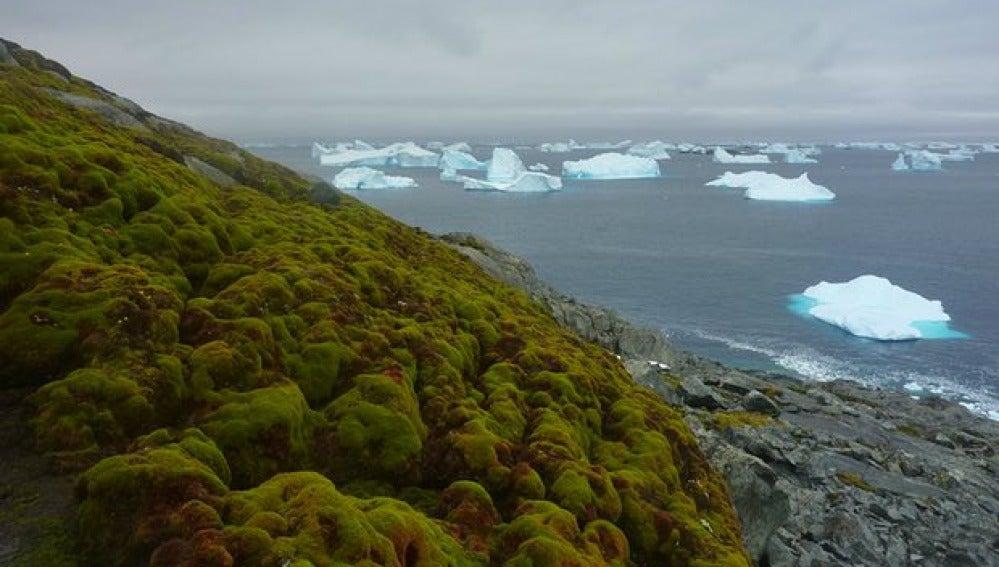 Musgo en la Antártida