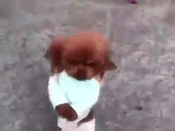 Un caniche camina a dos patas por la calle