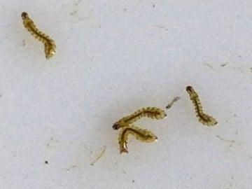 Larvas de mosca negra