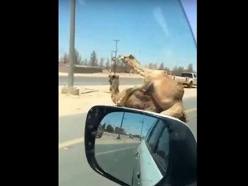 Una pareja de camellos se aparea en la autovía