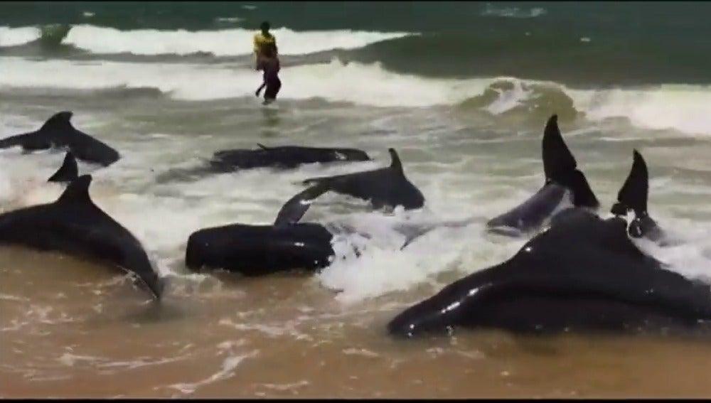 Frame 10.912 de: Una veintena de ballenas varadas como consecuencia del ciclón Mora en Sri Lanka