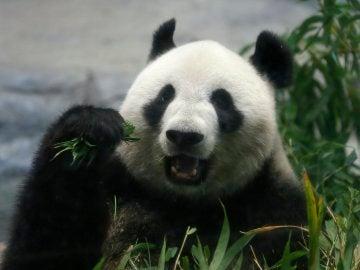 Panda gigante (12-06-2017)
