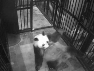Frame 3.32445 de: Nace por primera vez en 5 años un oso panda gigante en un zoológico de Tokio