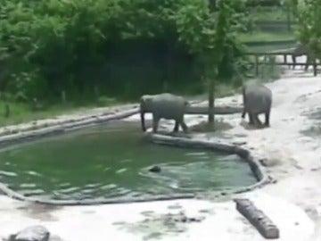 Dos elefantes adultos rescatan a una cría