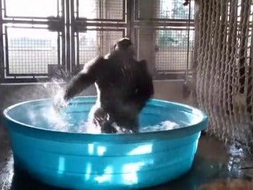 Una gorila de 14 años sorprende por su pasión por el baile en el agua