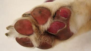 Los perros pueden sufrir quemaduras en sus patas por el calor del asfalto