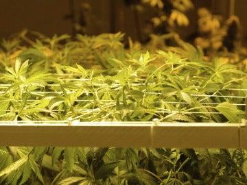 Una plantación de marihuana en una imagen de archivo