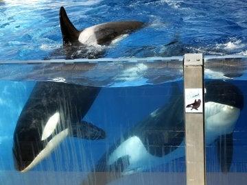La orcca Morgan nada junto a otras en el Loro Parque en la isla de Tenerife.