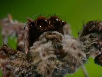 Portia la araña con superpoderes