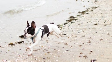 Un bulldog francés corre en la playa