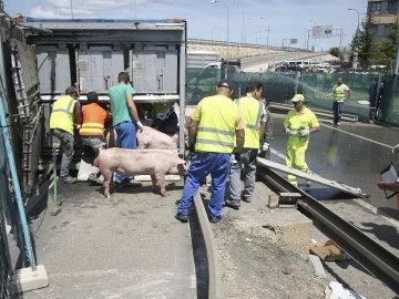 Efectivos del servicio veterinario de la Junta de Castilla y León agrupando al ganado porcino