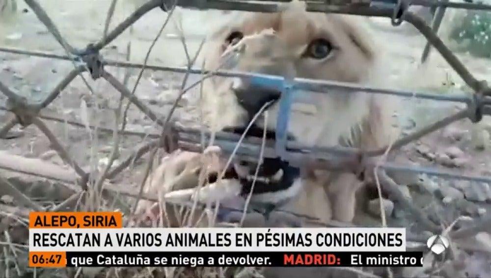 Varios animales han sido rescatados del zoo de Alepo en pésimas condiciones