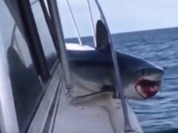 Tiburón atrapado en un barco