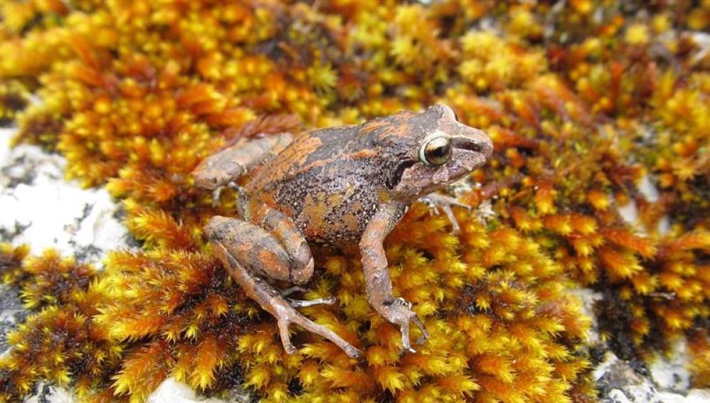 Encuentran tres nuevas especies de ranas