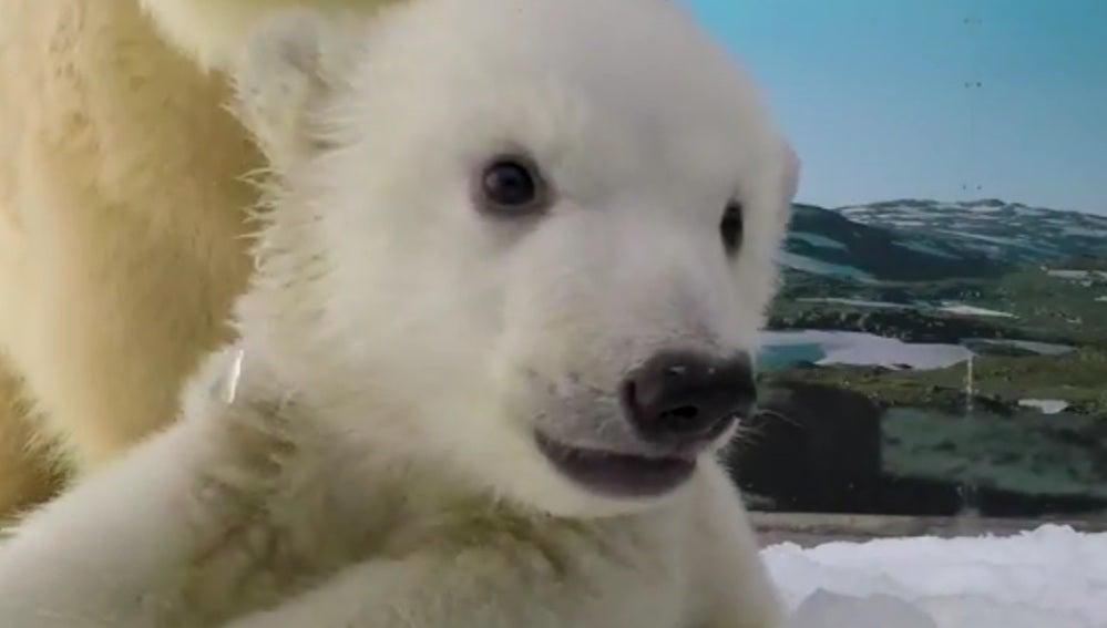 Cachorro de oso polar en el parque temático australiano