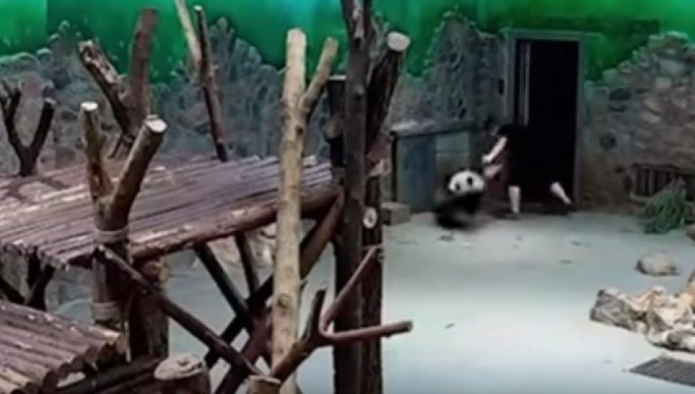 Acusan de maltrato a los cuidadores de un centro de cría de osos panda