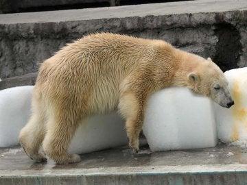 Oso polar del zoo de Budapest
