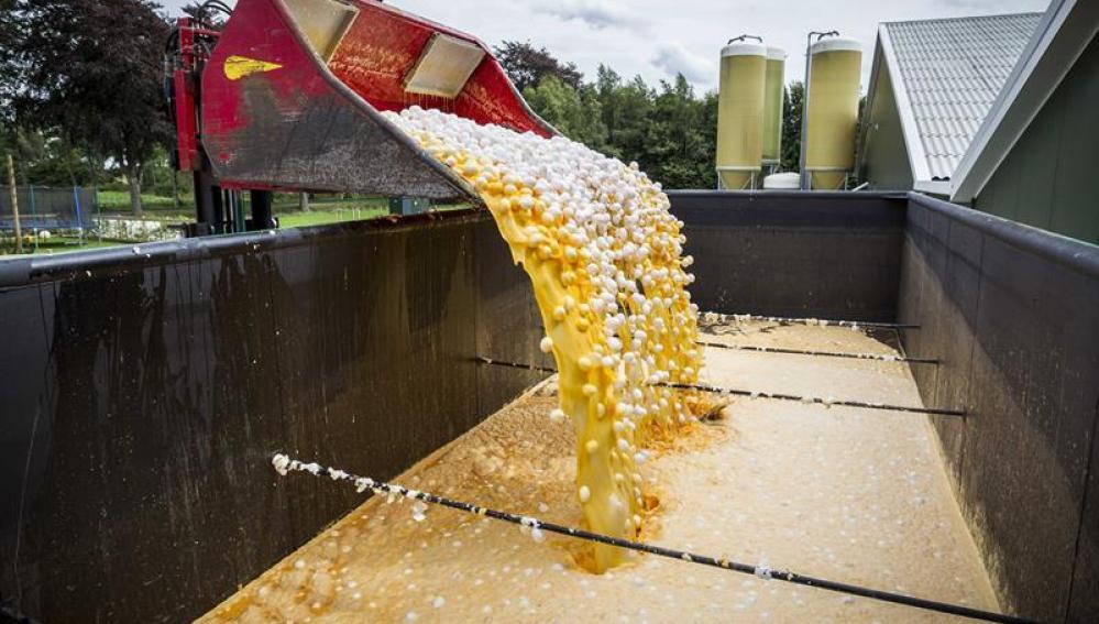 Una máquina transporta unos huevos contaminados para desecharlos en una granja avícola de Onstwedde (Holanda)