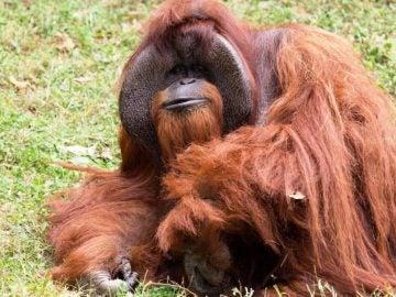 El orangután Chantek