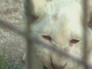 Nacen cinco cachorros de león blanco en un zoo de la República Checa
