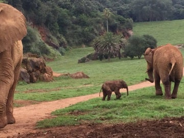 Cría de elefante en Cabárceno