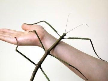 La madre (que llegó a medir 62,4 centímetros) del insecto palo más grande del mundo