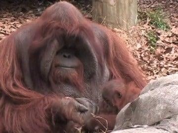 Fallece Chantek, uno de los primeros orangutanes que aprendió el lenguaje de signos para comunicarse