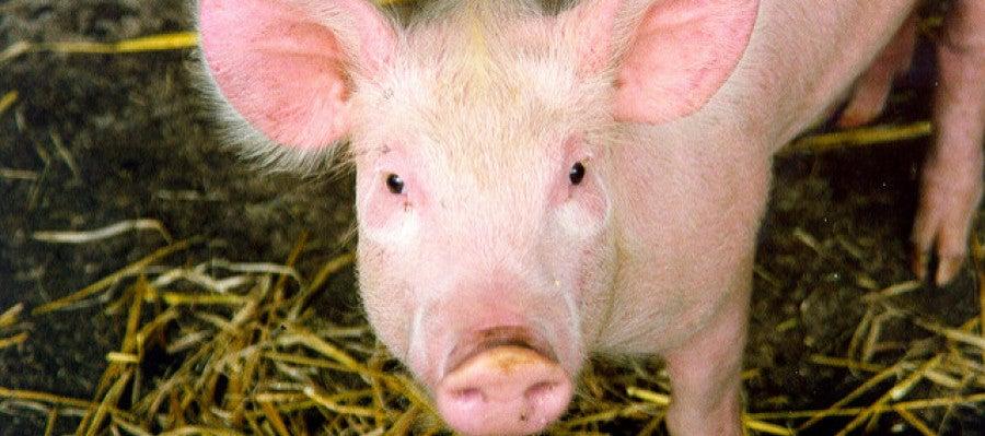 Los cerdos superan en número a las personas en España por primera vez en la historia